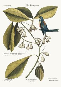 The Finch-Creeper, 1749-73 by Mark Catesby