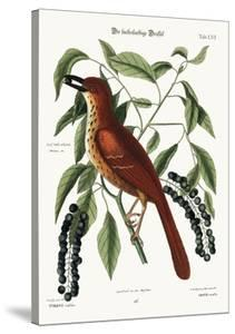 The Fox Coloured Thrush, 1749-73 by Mark Catesby