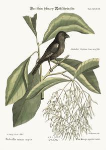 The Little Black Bullfinch, 1749-73 by Mark Catesby
