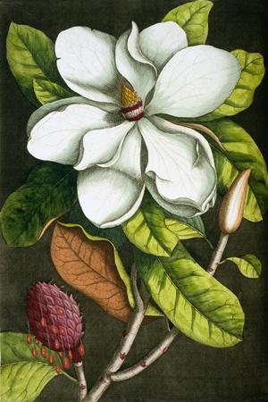 The Magnolia Branch