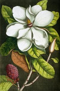 The Magnolia Branch by Mark Catesby
