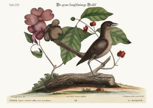 The Mock-Bird, 1749-73 by Mark Catesby