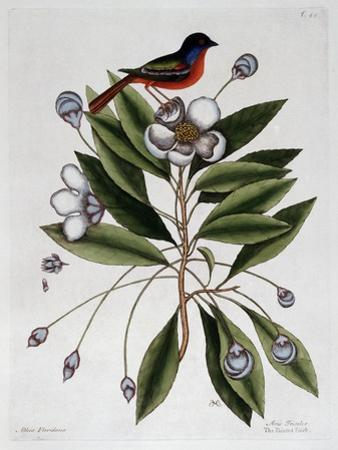 The Painted Finch by Mark Catesby