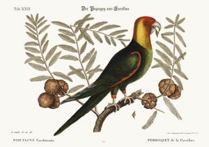 The Parrot of Carolina, 1749-73 by Mark Catesby