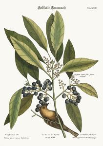 The Pine-Creeper, 1749-73 by Mark Catesby