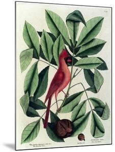 The Red Bird or Northern Cardinal by Mark Catesby