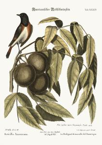 The Redstart, 1749-73 by Mark Catesby