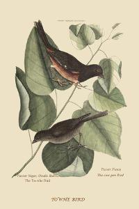 Towhe Bird by Mark Catesby