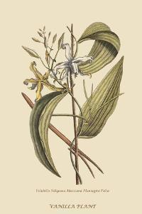 Vanila Plant by Mark Catesby
