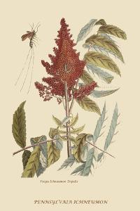 Vespa Ichneumon Tripilis or Fly Pennsylvania by Mark Catesby