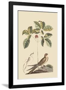 Whipoorwill by Mark Catesby