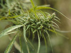 Cannabis (Cannabis Sativa) Bud Grown Locally by Villagers for Recreational Use, Pokhara, Nepal, Asi by Mark Chivers
