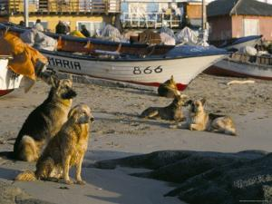 Fishermen's Dogs Awaiting Their Return, Horcon, Chile, South America by Mark Chivers