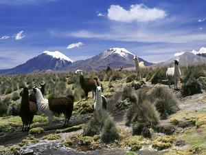 Llamas Grazing in Sajama National Park with the Twins, the Volcanoes of Parinacota and Pomerata in by Mark Chivers