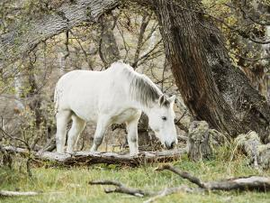 Wild Horses, El Calafate, Patagonia, Argentina, South America by Mark Chivers