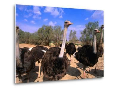 Blue-Necked Ostriches at Shaumari Wildlife Reserve, Azraq, Amman, Jordan