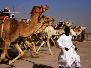 Official Starter Runs Away From Camels at Start of Race at Kuwait Camel Racing Club, Kuwait by Mark Daffey
