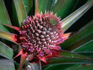Pineapple Head on Plant, Lauli'I, Samoa by Mark Daffey