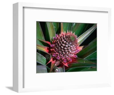 Pineapple Head on Plant, Lauli'I, Samoa