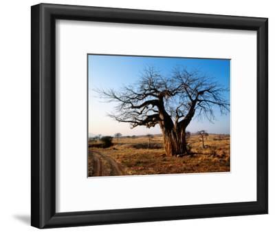 Vehicle Track Beside Baobab Tree, Singida