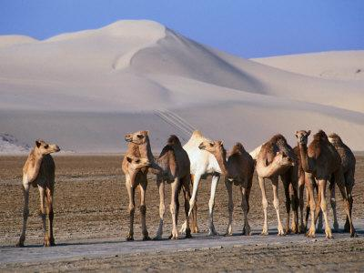 Wild Camels and Sand Dunes in Empty Southeast Quarter of Qatar, Jarayan Al Batnah, Qatar