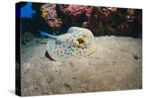 Bluespotted Stingray (Taeniura Lymma), Front Side View, Naama Bay by Mark Doherty