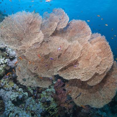 Close-Up of Giant Sea Fan Coral, Ras Mohammed Nat'l Pk, Off Sharm El Sheikh, Egypt