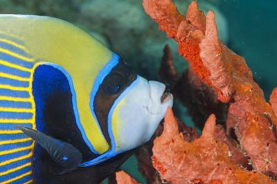 Emperor Angelfish (Pomacanthus Imperator) Close-Up by Mark Doherty