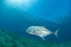 Giant Trevally (Caranx Ignobilis) Swimming Above Sea Grass Field by Mark Doherty