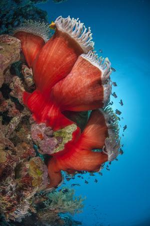 Magnificent Anemone (Heteractis Magnifica), Ras Mohammed Nat'l Pk, Off Sharm El Sheikh, Egypt