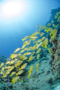 Medium Shoal or School of Blue Striped Snapper, Naama Bay, Off Sharm El Sheikh, Egypt by Mark Doherty