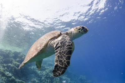 The Critically Endangered Hawksbill Turtle (Eretmochelys Imbricata) by Mark Doherty