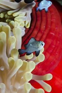 Three-Spot Damsel Fish (Dascyllus Trimaculatus) by Mark Doherty
