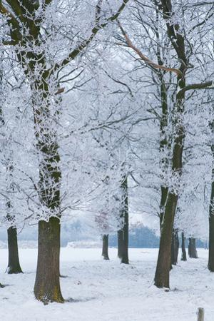 Trees Covered with Ice Crystals, Breda, North Brabant, the Netherlands (Holland), Europe by Mark Doherty