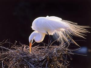 A Great Egret, Ardea Alba, in Mating Feathers Tends the Nest by Mark Emery