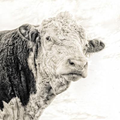 Close Up of Bull's Head