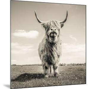 Close up portrait of Scottish Highland cattle on a farm by Mark Gemmell