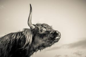 Highland Cattle 2 by Mark Gemmell
