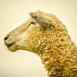 Sheeps Head by Mark Gemmell