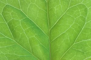 Bilaterally symmetrical ivy leaf. by Mark Gibson