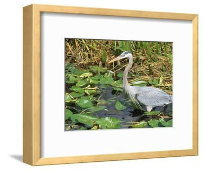 Great Blue Heron, Everglades National Park, FL
