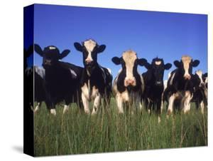 Holstein Dairy Cows, WI by Mark Gibson