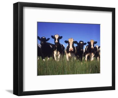 Holstein Dairy Cows, WI