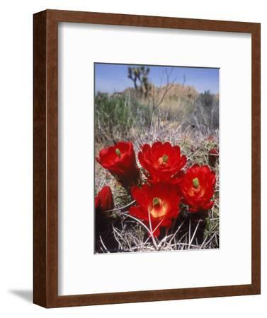 Joshua Tree, Ca, Cactus Flower