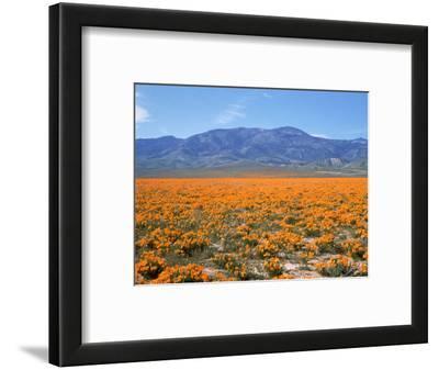 Spring, California Poppies, Gorman, CA
