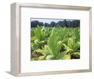 Tobacco Plants in a Farm Field (Nicotiana Tabacum), USA