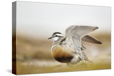 Adult Eurasian Dotterel (Charadrius Morinellus) with Wings Partially Raised, Cairngorms Np, UK