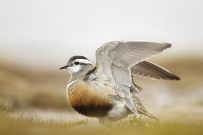 Adult Eurasian Dotterel (Charadrius Morinellus) with Wings Partially Raised, Cairngorms Np, UK by Mark Hamblin