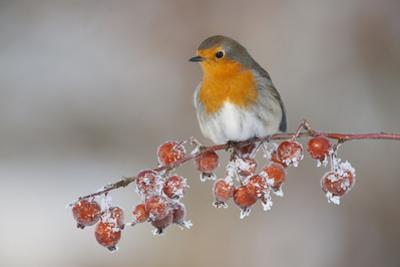 Adult Robin (Erithacus Rubecula) in Winter, Perched on Twig with Frozen Crab Apples, Scotland, UK