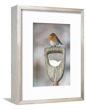 Adult Robin (Erithacus Rubecula) Perched on Spade Handle in the Snow in Winter, Scotland, UK